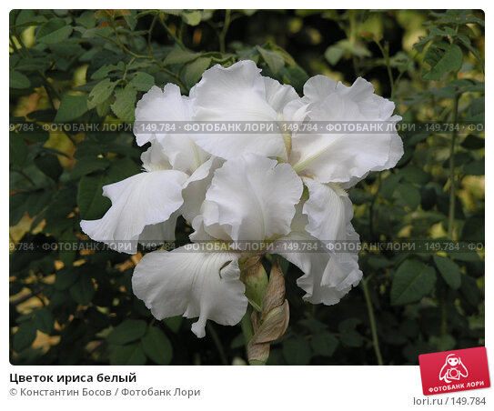 Цветок ириса белый, фото № 149784, снято 19 августа 2006 г. (c) Константин Босов / Фотобанк Лори