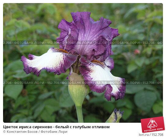 Купить «Цветок ириса сиренево - белый с голубым отливом», фото № 152708, снято 19 мая 2007 г. (c) Константин Босов / Фотобанк Лори