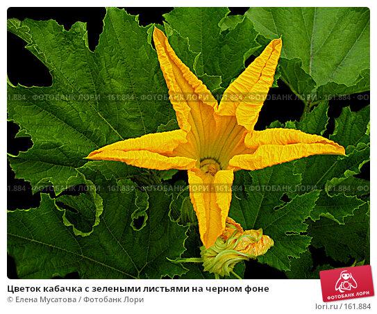 Купить «Цветок кабачка с зелеными листьями на черном фоне», фото № 161884, снято 27 июля 2004 г. (c) Елена Мусатова / Фотобанк Лори