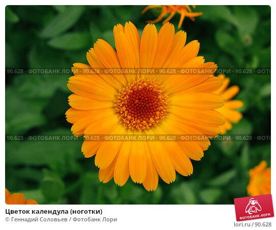 Цветок календула (ноготки), фото № 90628, снято 15 июля 2007 г. (c) Геннадий Соловьев / Фотобанк Лори