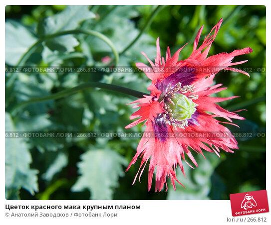 Цветок красного мака крупным планом, фото № 266812, снято 5 августа 2006 г. (c) Анатолий Заводсков / Фотобанк Лори