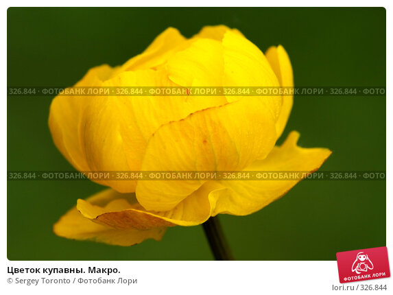 Купить «Цветок купавны. Макро.», фото № 326844, снято 1 июня 2008 г. (c) Sergey Toronto / Фотобанк Лори