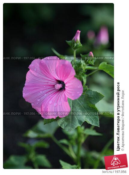 Купить «Цветок Лаватера в утренней росе», фото № 197056, снято 12 июля 2007 г. (c) Архипова Мария / Фотобанк Лори