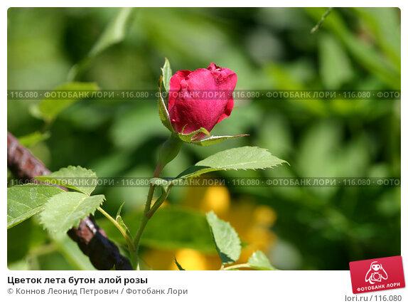 Цветок лета бутон алой розы, фото № 116080, снято 9 июня 2007 г. (c) Коннов Леонид Петрович / Фотобанк Лори