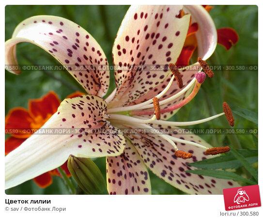 Цветок лилии, фото № 300580, снято 16 июля 2005 г. (c) sav / Фотобанк Лори