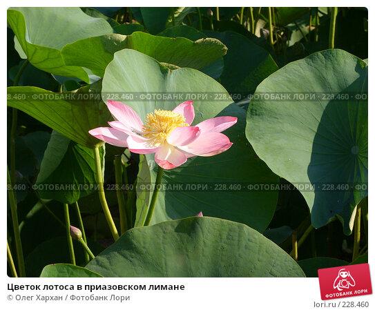 Цветок лотоса в приазовском лимане, фото № 228460, снято 20 июля 2007 г. (c) Олег Хархан / Фотобанк Лори