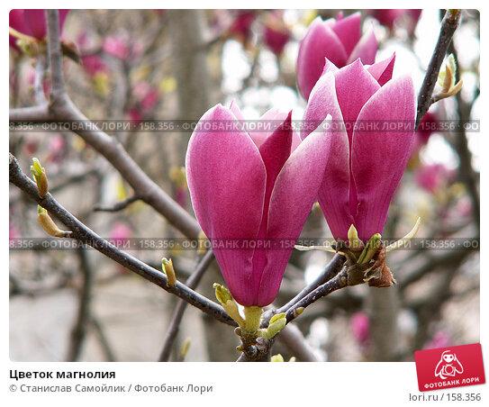 Цветок магнолия, фото № 158356, снято 31 марта 2007 г. (c) Станислав Самойлик / Фотобанк Лори