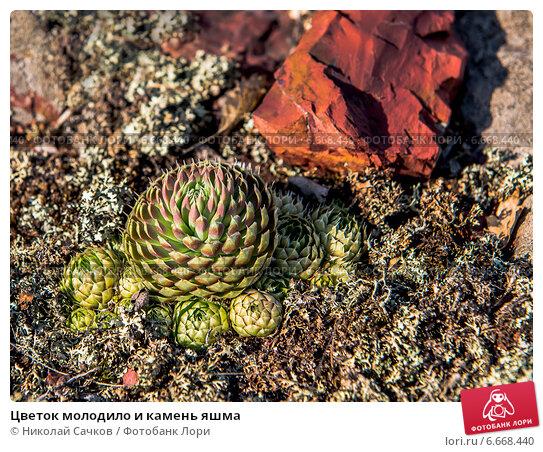 Купить «Цветок молодило и камень яшма», фото № 6668440, снято 18 июня 2014 г. (c) Николай Сачков / Фотобанк Лори
