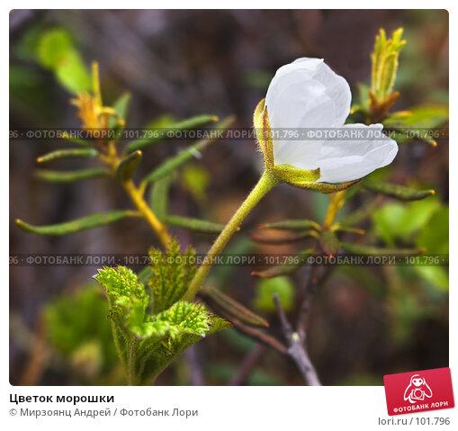 Купить «Цветок морошки», фото № 101796, снято 11 июня 2006 г. (c) Мирзоянц Андрей / Фотобанк Лори