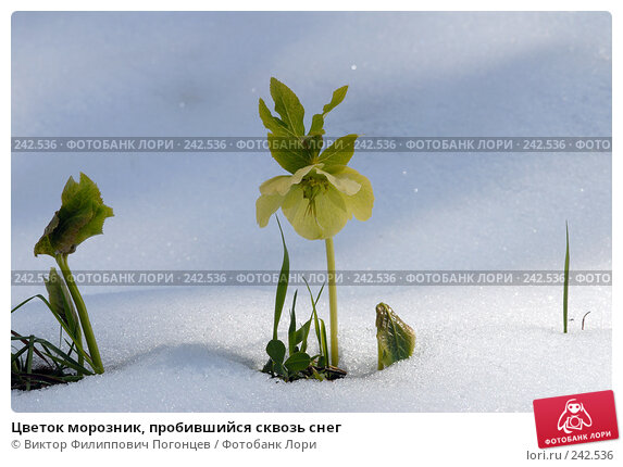 Купить «Цветок морозник, пробившийся сквозь снег», фото № 242536, снято 22 апреля 2018 г. (c) Виктор Филиппович Погонцев / Фотобанк Лори