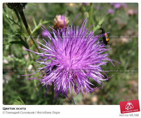 Цветок осота, фото № 65168, снято 21 июня 2007 г. (c) Геннадий Соловьев / Фотобанк Лори