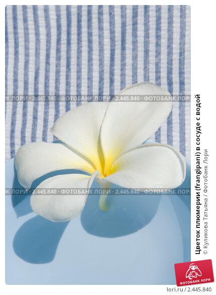 Купить «Цветок плюмерии (frangipani) в сосуде с водой», фото № 2445840, снято 7 января 2011 г. (c) Куликова Татьяна / Фотобанк Лори