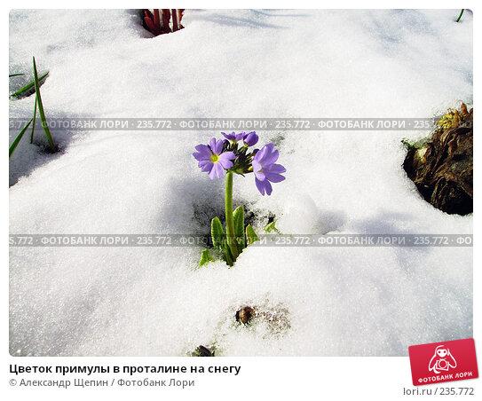 Цветок примулы в проталине на снегу, эксклюзивное фото № 235772, снято 1 мая 2007 г. (c) Александр Щепин / Фотобанк Лори