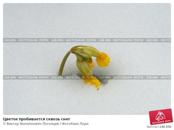 Цветок пробивается сквозь снег, фото № 248896, снято 25 февраля 2017 г. (c) Виктор Филиппович Погонцев / Фотобанк Лори