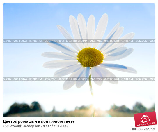 Цветок ромашки в контровом свете, фото № 266796, снято 2 августа 2006 г. (c) Анатолий Заводсков / Фотобанк Лори