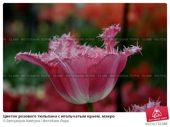 Цветок розового тюльпана с игольчатым краем, макро, фото № 32688, снято 11 апреля 2007 г. (c) Demyanyuk Kateryna / Фотобанк Лори