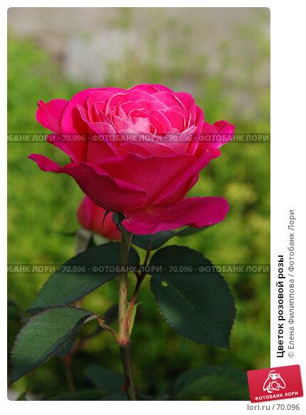 Цветок розовой розы, фото № 70096, снято 28 июля 2007 г. (c) Елена Филиппова / Фотобанк Лори