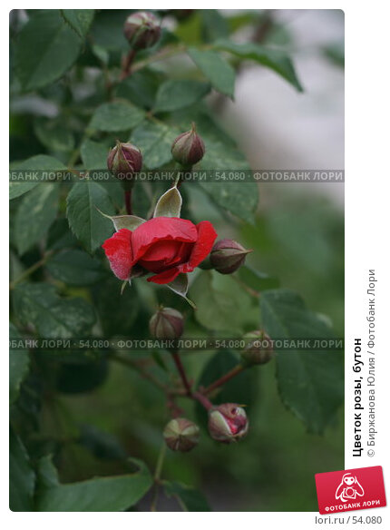 Цветок розы, бутон, фото № 54080, снято 16 июня 2007 г. (c) Биржанова Юлия / Фотобанк Лори
