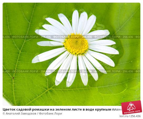 Цветок садовой ромашки на зеленом листе в воде крупным планом, фото № 256436, снято 23 июля 2006 г. (c) Анатолий Заводсков / Фотобанк Лори
