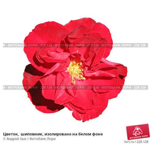 Цветок,  шиповник, изолировано на белом фоне, фото № 228128, снято 6 июля 2006 г. (c) Андрей Зык / Фотобанк Лори