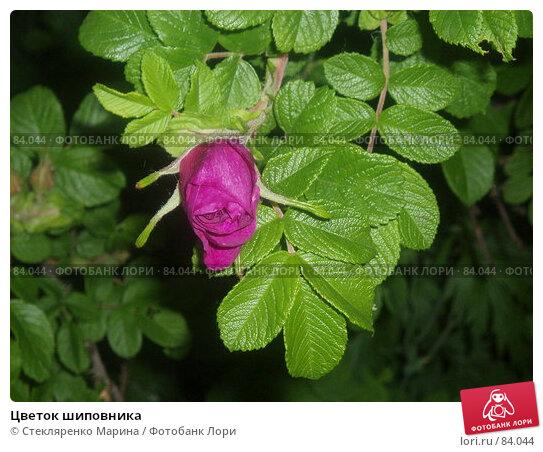 Цветок шиповника, фото № 84044, снято 13 июня 2006 г. (c) Стекляренко Марина / Фотобанк Лори