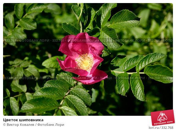 Цветок шиповника, фото № 332768, снято 23 июня 2008 г. (c) Виктор Ковалев / Фотобанк Лори