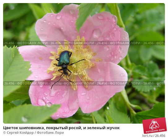 Купить «Цветок шиповника, покрытый росой, и зеленый жучок», фото № 26456, снято 9 июня 2006 г. (c) Сергей Ксейдор / Фотобанк Лори