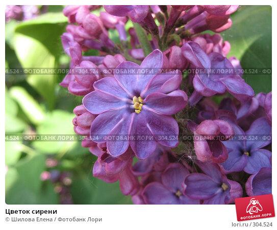 Цветок сирени, фото № 304524, снято 23 мая 2007 г. (c) Шилова Елена / Фотобанк Лори