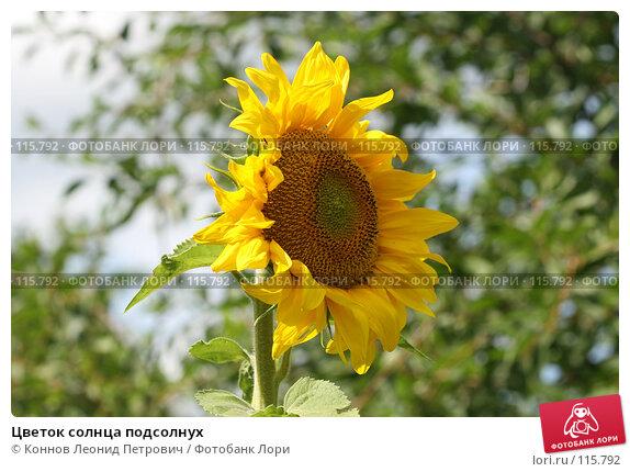 Цветок солнца подсолнух, фото № 115792, снято 21 июля 2007 г. (c) Коннов Леонид Петрович / Фотобанк Лори