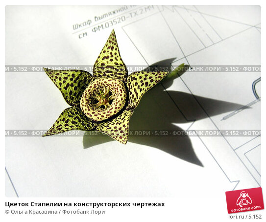 Цветок Стапелии на конструкторских чертежах, фото № 5152, снято 2 августа 2005 г. (c) Ольга Красавина / Фотобанк Лори