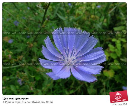 Цветок цикория, эксклюзивное фото № 456, снято 22 июля 2004 г. (c) Ирина Терентьева / Фотобанк Лори