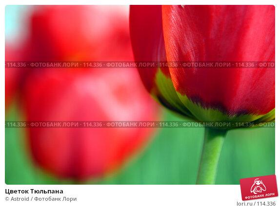 Цветок Тюльпана, фото № 114336, снято 15 мая 2005 г. (c) Astroid / Фотобанк Лори