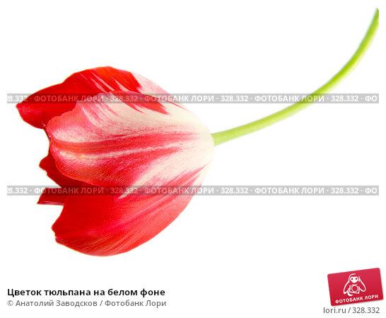 Цветок тюльпана на белом фоне, фото № 328332, снято 4 июня 2006 г. (c) Анатолий Заводсков / Фотобанк Лори