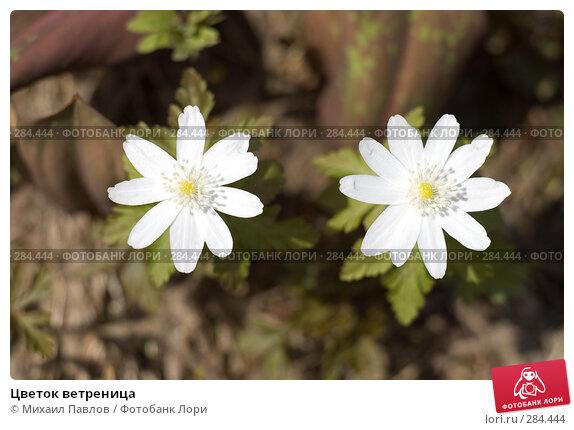 Цветок ветреница, фото № 284444, снято 8 мая 2008 г. (c) Михаил Павлов / Фотобанк Лори