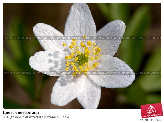 Купить «Цветок ветреница», фото № 315932, снято 28 апреля 2008 г. (c) Андрюхина Анастасия / Фотобанк Лори