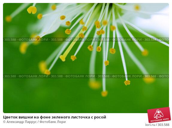 Цветок вишни на фоне зеленого листочка с росой, фото № 303588, снято 21 апреля 2008 г. (c) Александр Паррус / Фотобанк Лори