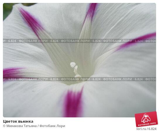Купить «Цветок вьюнка», фото № 6824, снято 29 июля 2006 г. (c) Минакова Татьяна / Фотобанк Лори