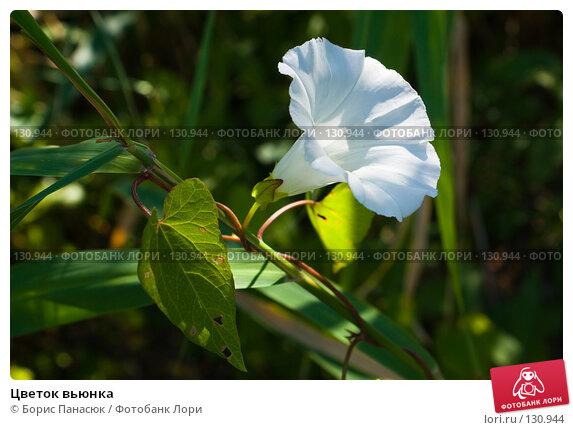 Цветок вьюнка, фото № 130944, снято 17 августа 2007 г. (c) Борис Панасюк / Фотобанк Лори