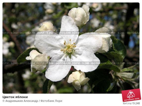 Цветок яблони, фото № 9248, снято 19 мая 2004 г. (c) Андрияшкин Александр / Фотобанк Лори