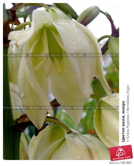 Цветок юкки, макро, фото № 99960, снято 24 сентября 2007 г. (c) Елена Руденко / Фотобанк Лори