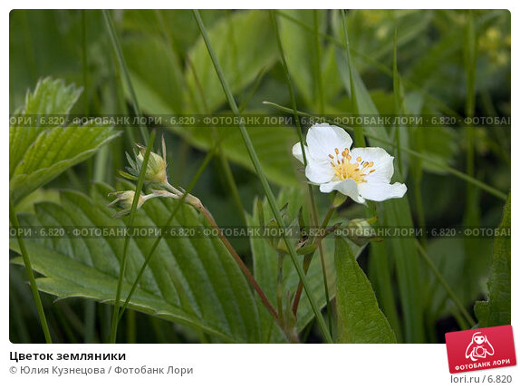 Цветок земляники, фото № 6820, снято 29 мая 2017 г. (c) Юлия Кузнецова / Фотобанк Лори