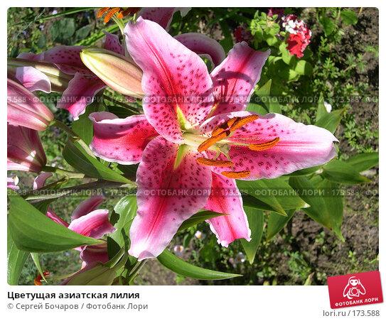Цветущая азиатская лилия, фото № 173588, снято 16 августа 2003 г. (c) Сергей Бочаров / Фотобанк Лори