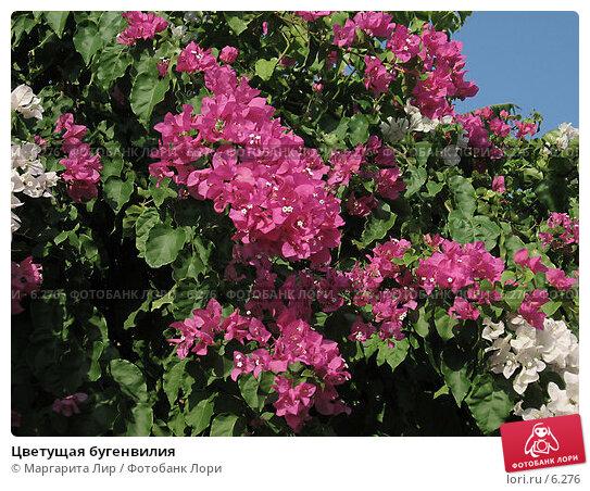 Цветущая бугенвилия, фото № 6276, снято 4 июля 2006 г. (c) Маргарита Лир / Фотобанк Лори