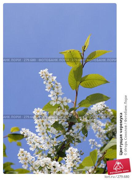Цветущая черемуха, фото № 279680, снято 10 мая 2008 г. (c) Игорь Соколов / Фотобанк Лори