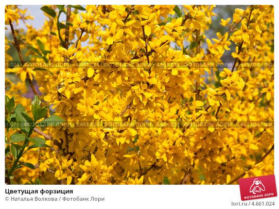 Цветущая форзиция, фото № 4661024, снято 4 мая 2013 г. (c) Наталья Волкова / Фотобанк Лори