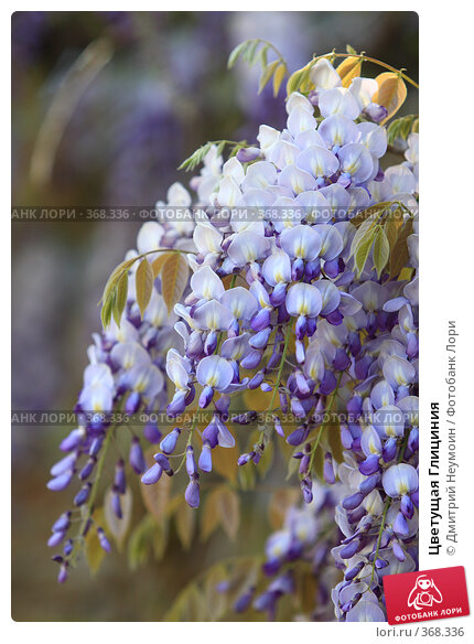 Цветущая Глициния, эксклюзивное фото № 368336, снято 1 мая 2008 г. (c) Дмитрий Неумоин / Фотобанк Лори