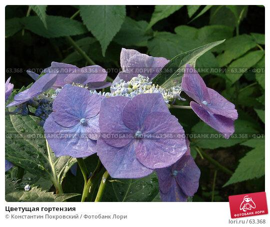 Цветущая гортензия, фото № 63368, снято 23 июля 2006 г. (c) Константин Покровский / Фотобанк Лори