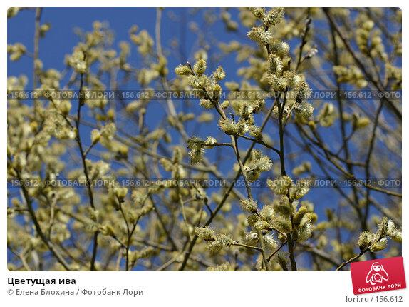 Купить «Цветущая ива», фото № 156612, снято 11 апреля 2007 г. (c) Елена Блохина / Фотобанк Лори