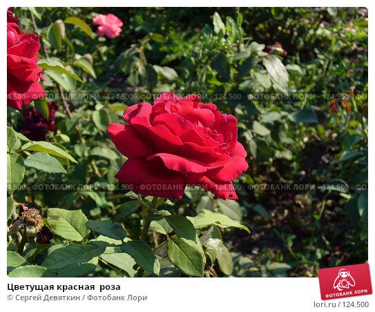 Цветущая красная  роза, фото № 124500, снято 19 августа 2007 г. (c) Сергей Девяткин / Фотобанк Лори