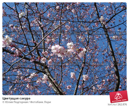 Цветущая сакура, фото № 262876, снято 15 марта 2008 г. (c) Юлия Селезнева / Фотобанк Лори